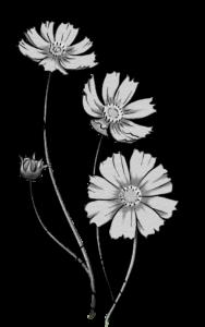コスモスのイラスト(白黒)