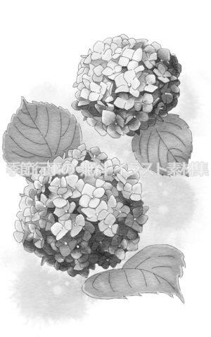 あじさい(紫陽花)のイラスト(白黒版)